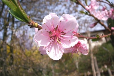 Nature. The ultimate Peach Blossom warrior.